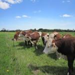 Meget nysgerrige hereford kvæg