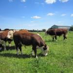 hereford tyre på græs