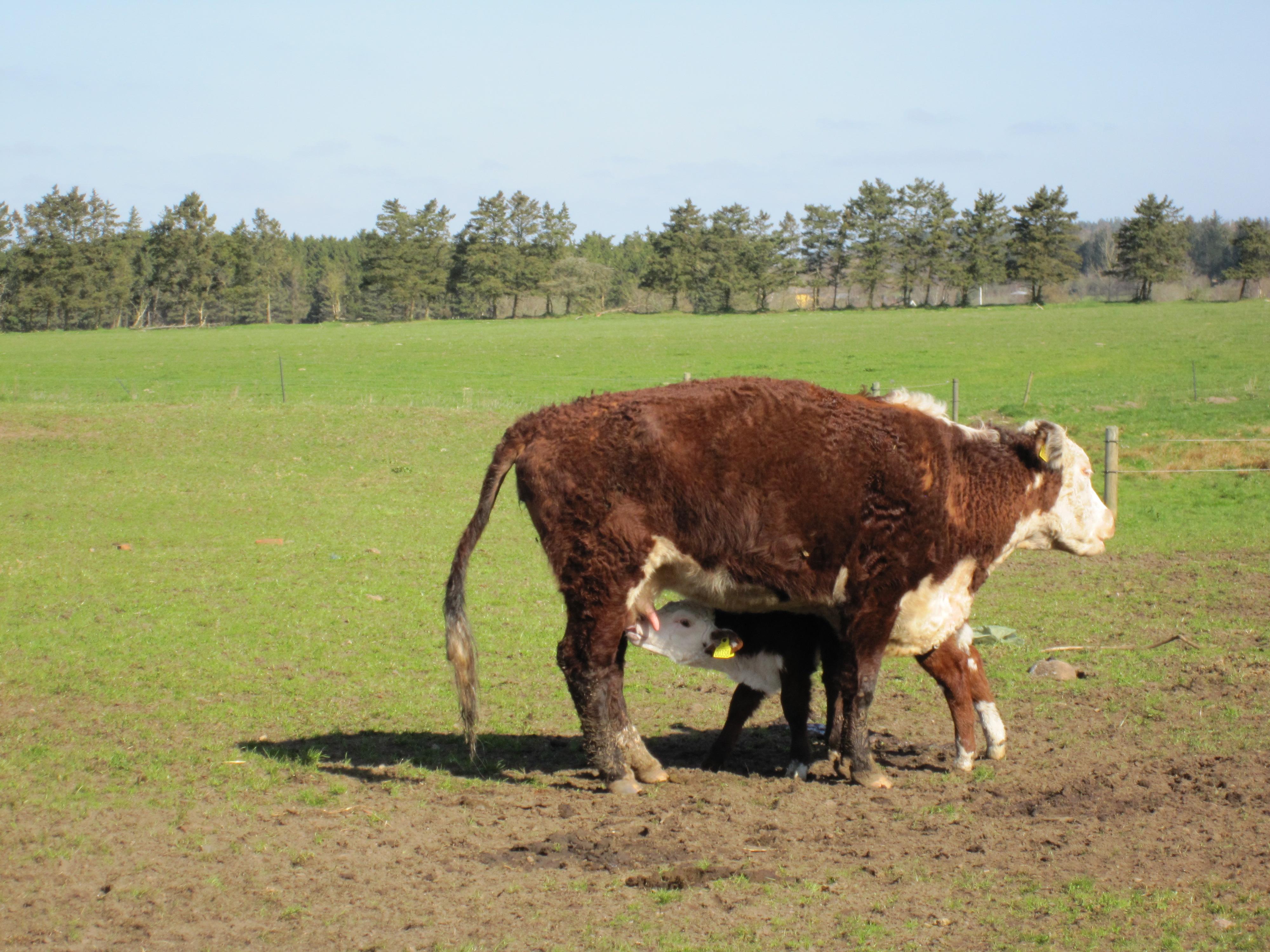 Nyfødt kalv får sin første tår mælk
