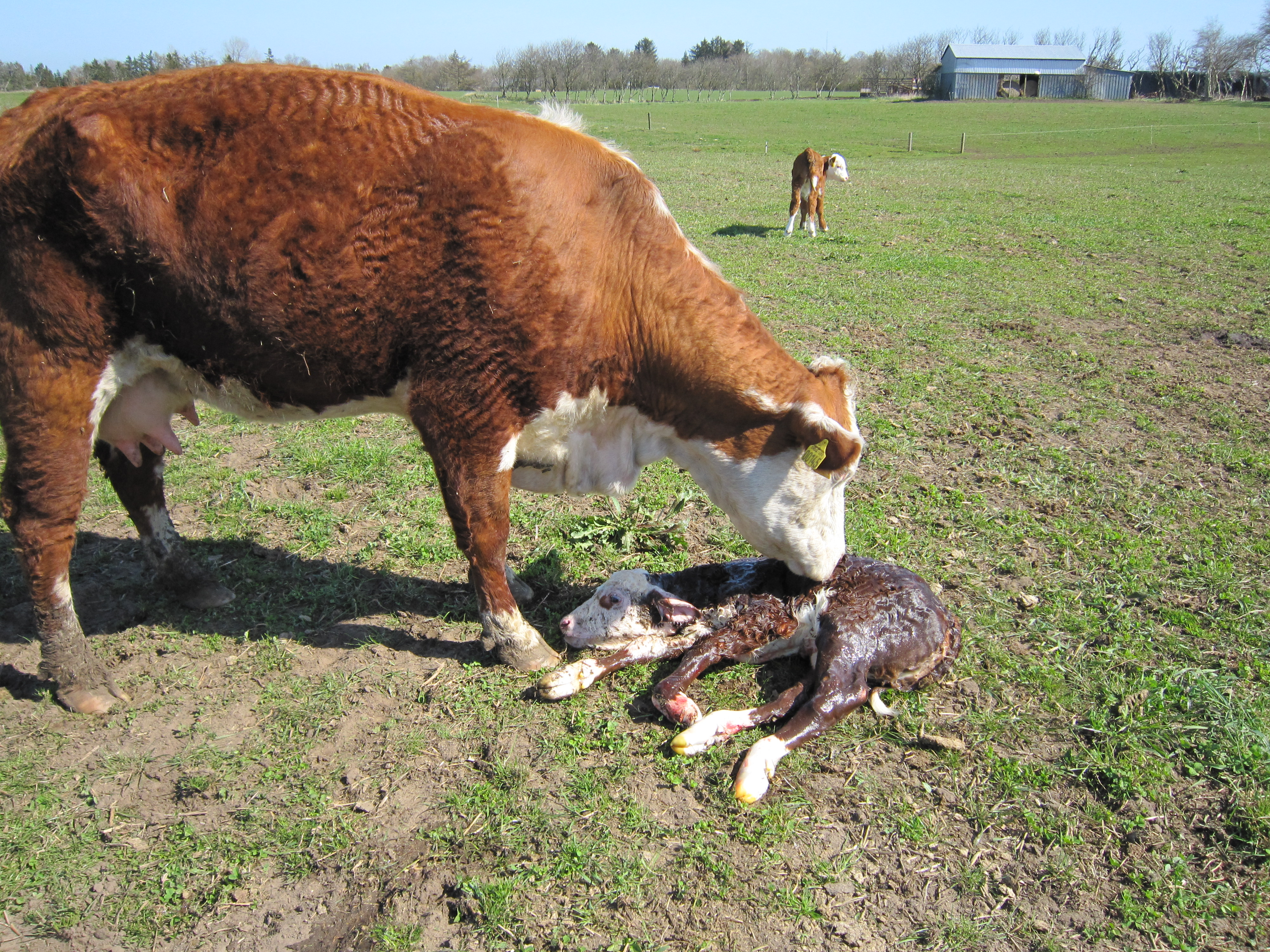 herefordko med nyfødt kalv