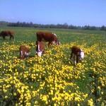 Hereford kødkvæg i mælkebøtte mark